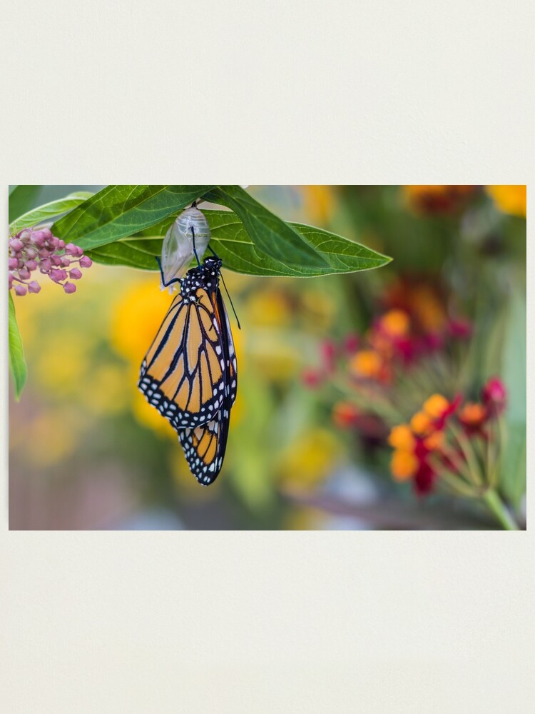 Alternate view of Monarch Butterfly, newly emerged from Chrysalis, on milkweed Photographic Print