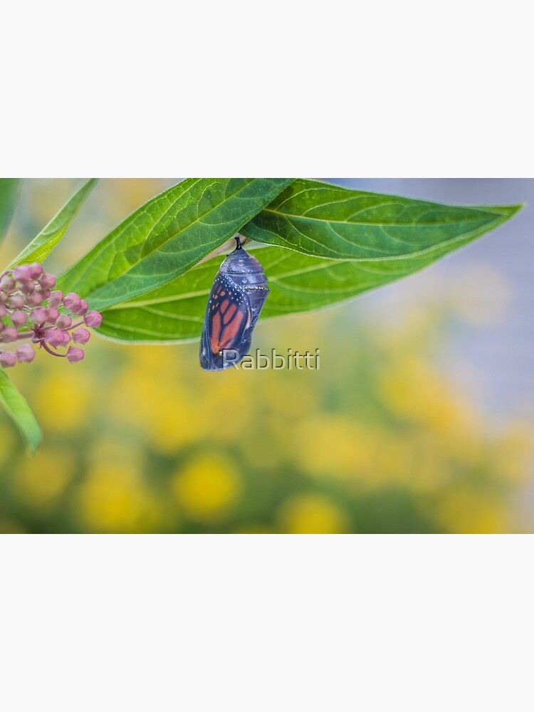 Monarch Butterfly Chrysalis, clear stage, on milkweed by Rabbitti