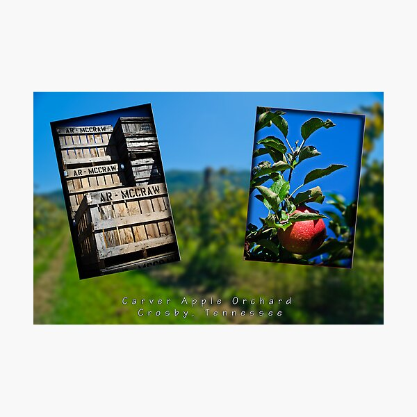 Carver Apple Orchard Photographic Print