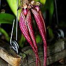 Bulbophyllum Doris Dukes Flower by Jason Pepe