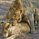 Mating lions by Anthony Goldman
