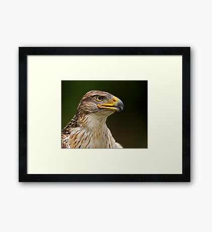 Ferruginous Hawk Portrait Framed Print