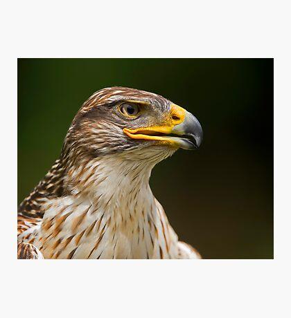 Ferruginous Hawk Portrait Photographic Print