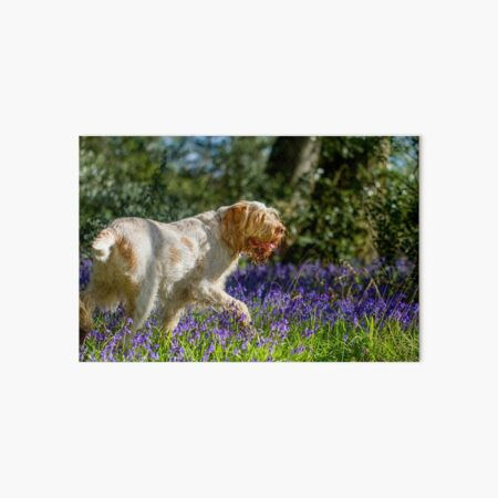 Bluebell wood Spinone Art Board Print