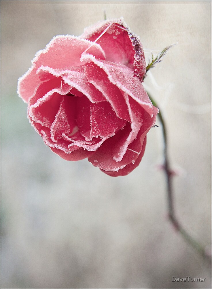 Frosted Red Rose by DaveTurner
