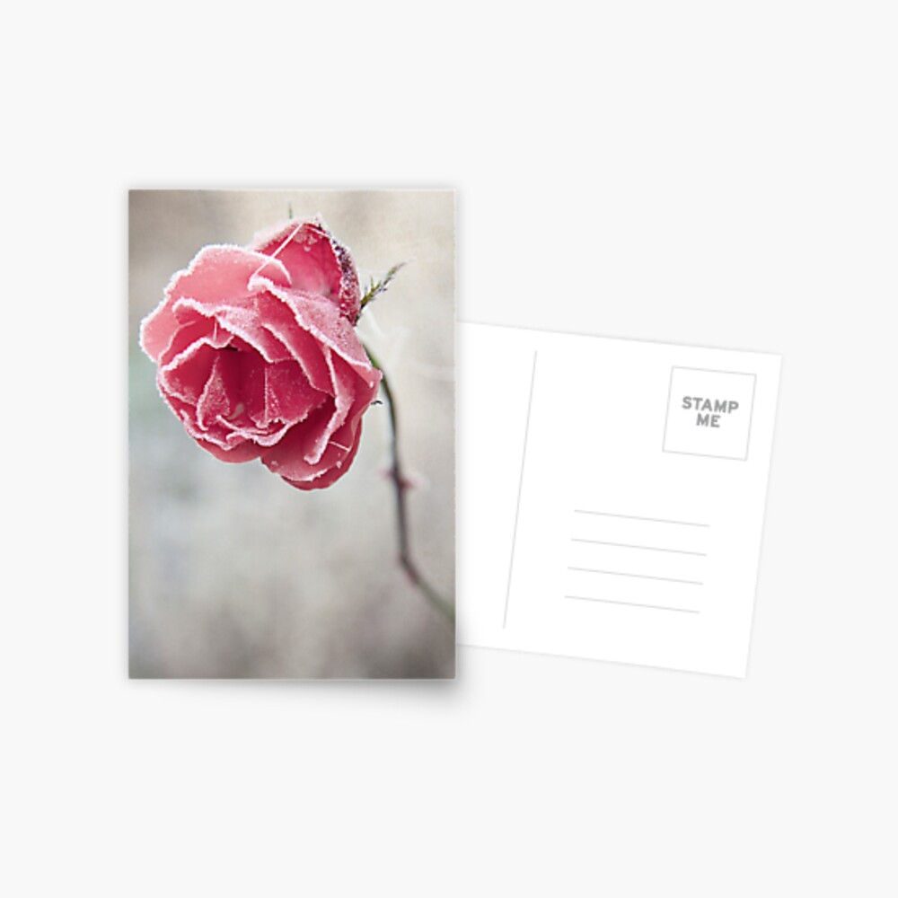 Frosted Red Rose Postcard