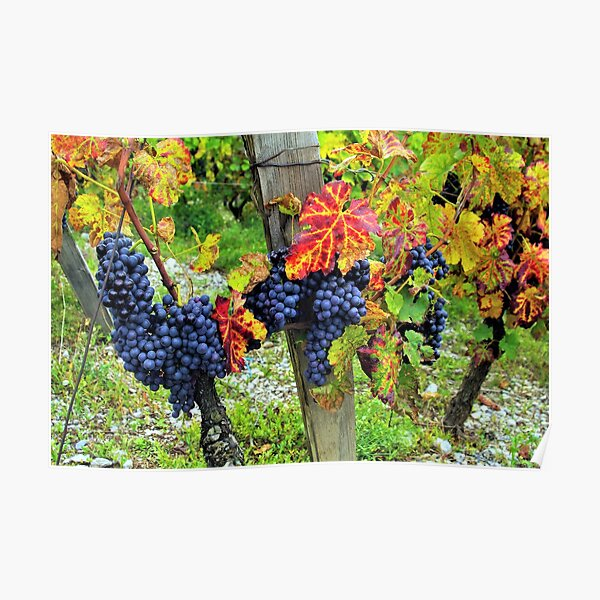 Colorful grapes and vines from the French Alps Poster