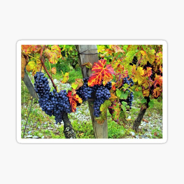 Colorful grapes and vines from the French Alps Sticker