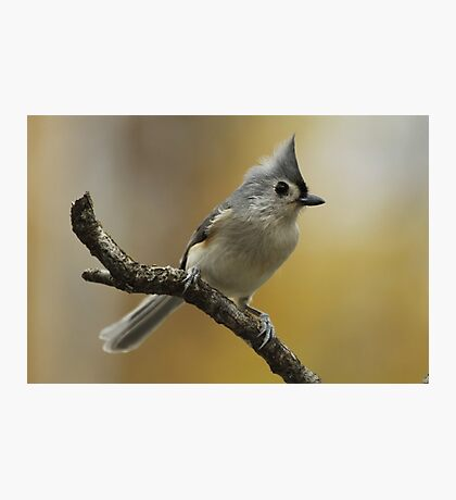 Tufted Titmouse Photographic Print