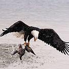 Bald Eagle Captures Duck by David Friederich