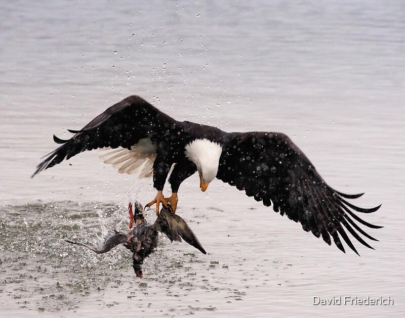 Quot Bald Eagle Captures Duck Quot By David Friederich Redbubble