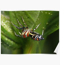 Rainbow Jumping Spider - Mackay Botanical Gardens Poster