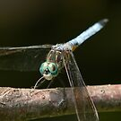 Smiling Dragonfly by Timothy Accardo
