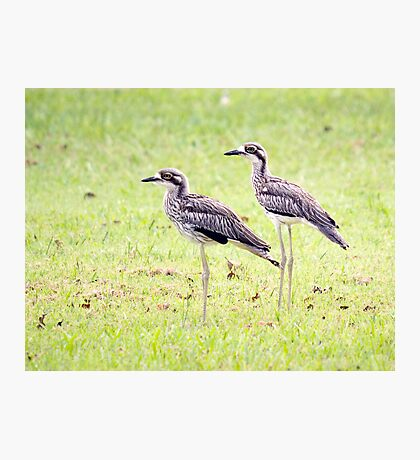 Stand Tall - curlews Photographic Print