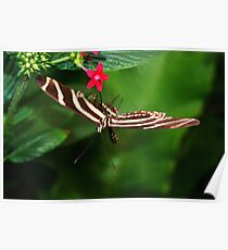 In Balance Zebra Longwing - Heliconius charithonia Poster