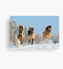 Three Icelandic horses in winter Canvas Print