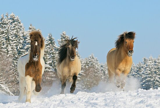 Three Icelandic horses in winter by Manfred Grebler