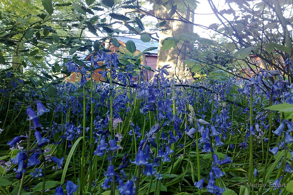 Bluebells woodland walk - Sewerby Hall  by Merice  Ewart-LFA