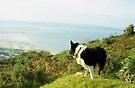 Indy  overlooking Llanfairfechan by Michael Haslam