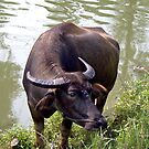 Water buffalo by Nancy Richard