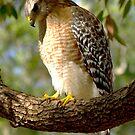 Red Shouldered Hawk by Frank Bibbins