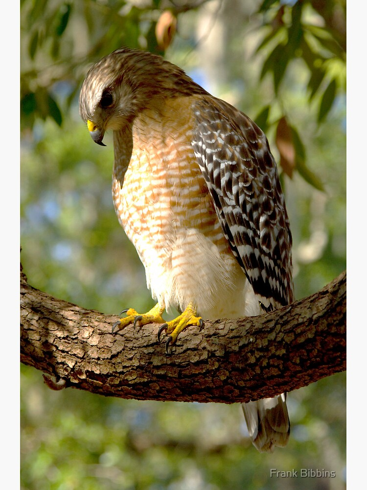 Red Shouldered Hawk by organicman2