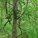 Entanglement - Maple and Vine by Timothy Accardo