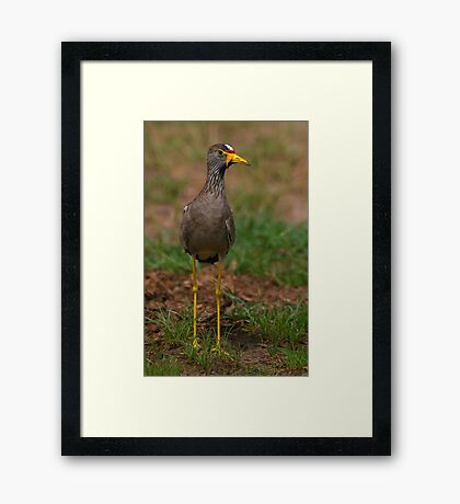 African Wattled Lapwing Framed Print