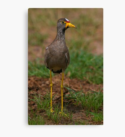 African Wattled Lapwing Canvas Print