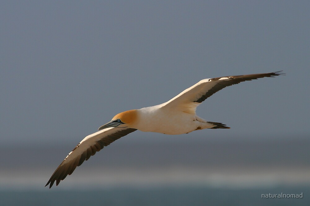 """Cape Gannet"" by naturalnomad 