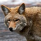 Yosemite Coyote by Ken Scarboro