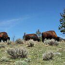 Buffalo in Yellowstone  by AnnDixon