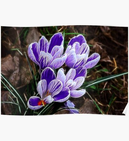 Beautiful Crocus Poster