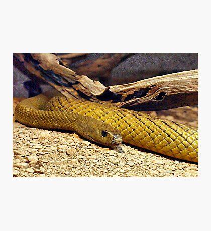 Inland Taipan (Oxyuranus microlepidotus) Photographic Print