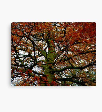 Healing Beech tree Canvas Print