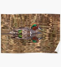 Green Winged Teal Reflections Poster