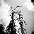 Burned Trees, Yosemite, CA May 2010 by joshsteich