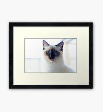 Ragdolls  Framed Print