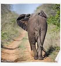 Elephant Phinda Vlei Poster