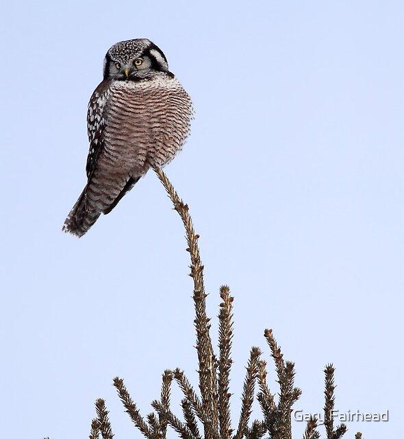 The Last Ornament  On The Tree / Northern Hawk Owl by Gary Fairhead