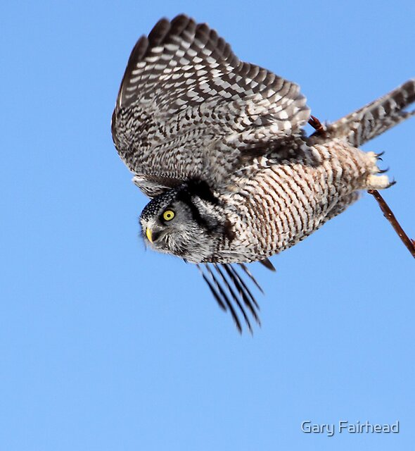 Letting Go / Northern Hawk Owl by Gary Fairhead