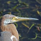 Immature tricolored heron by Anthony Goldman