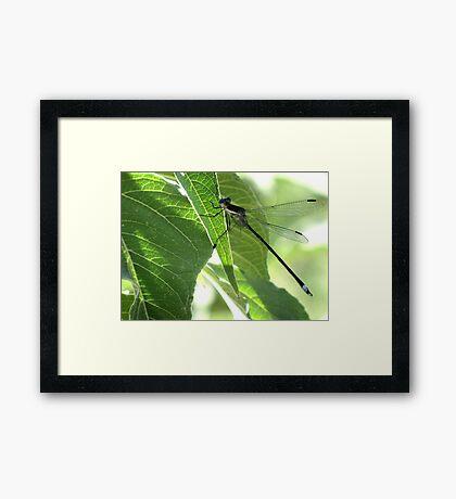 Damselfly ~Great Spreadwing (Male) Framed Print