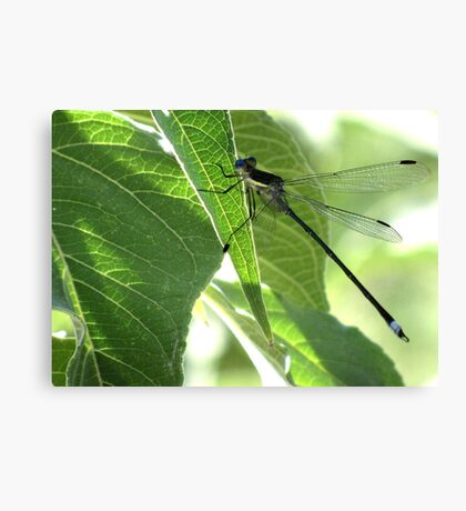 Damselfly ~Great Spreadwing (Male) Canvas Print