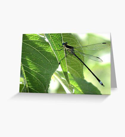 Damselfly ~Great Spreadwing (Male) Greeting Card