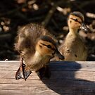 Curious baby duck by Michael Garson