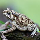 Bufo Species of Toad by Normf