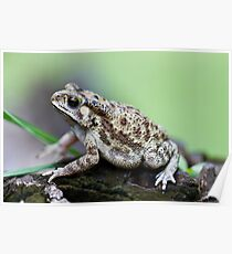 Bufo Species of Toad Poster