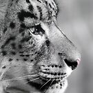 Kush .... Snow leopard by Stephie Butler