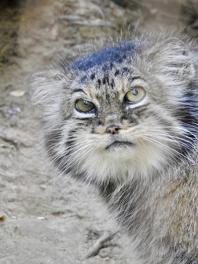 Pallas's Cat by Martina Nicolls